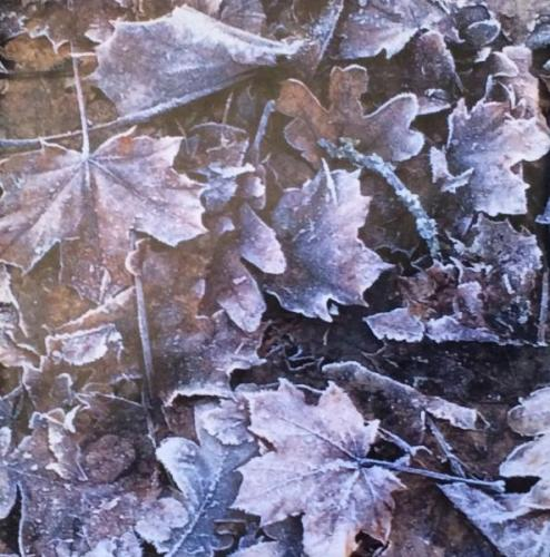 Frosted Leaves II